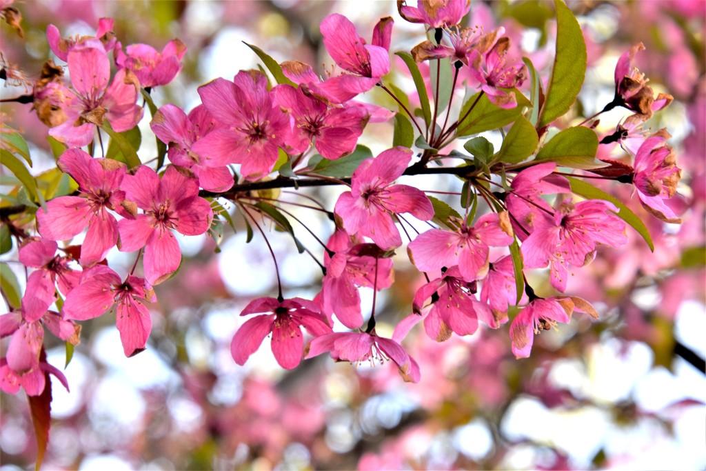 Flowering Crabapple by genealogygenie