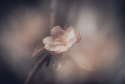 26th Apr 2021 - apple blossom