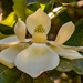 Magnolia Bloom That has Opened Up! by rickster549
