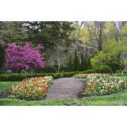 26th Apr 2021 - Tulip Path to the Purple