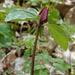 Prairie Trillium by annepann