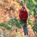 Autumn rosella
