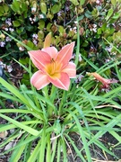 27th Apr 2021 - Day lily