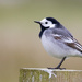 White Wagtail by lifeat60degrees