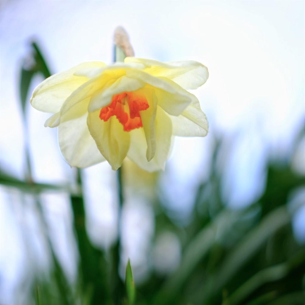 Daffodil 28 by 4rky