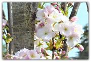 22nd Apr 2021 - Beautiful blossom