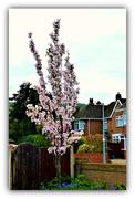27th Apr 2021 - Flowering Cherry Tree