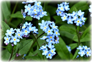 23rd Apr 2021 - Forget me not