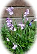 24th Apr 2021 - lilac bluebells