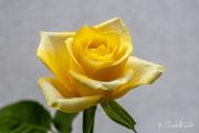 27th Apr 2021 - Yellow rose
