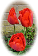 28th Apr 2021 - Three tulips