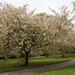 More Arboretum Blossom