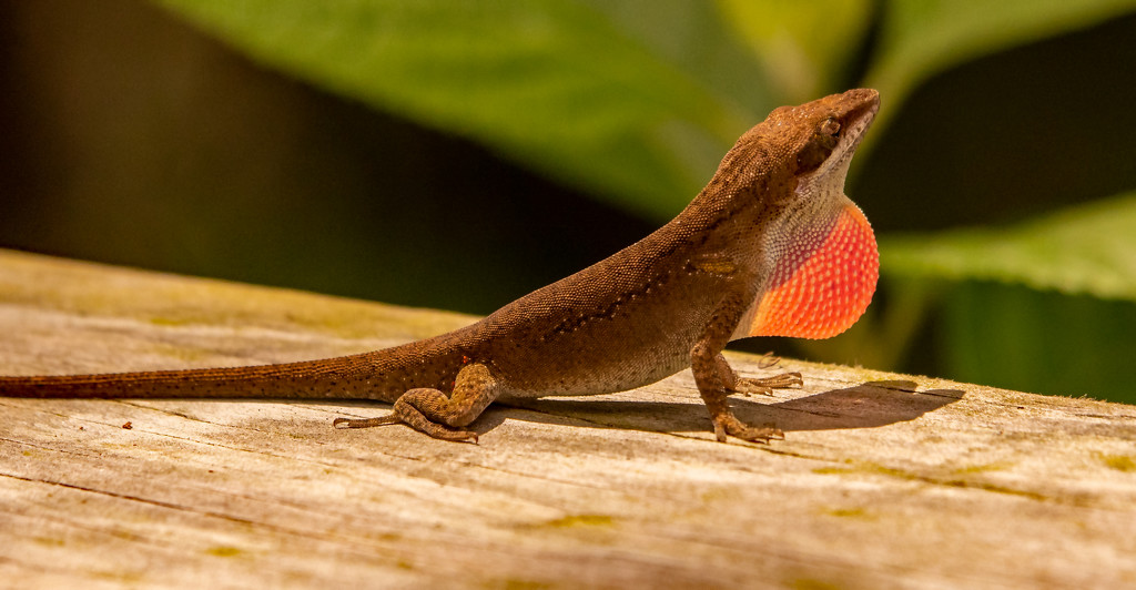 Lizard on the Fence! by rickster549