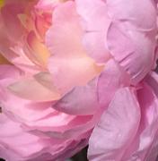 26th Apr 2021 - Pink peony