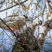 Black-Crowned Night Heron Couple Making Their Nest