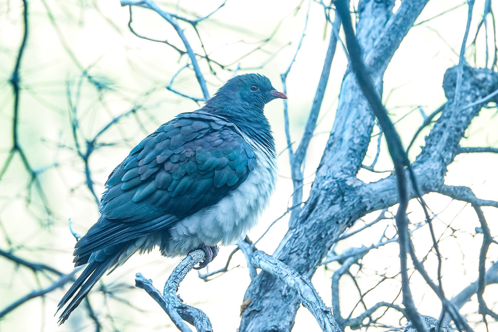 Wood pigeon - kereru - on a frosty morning by maureenpp