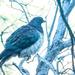 Wood pigeon - kereru - on a frosty morning