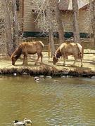 25th Apr 2021 - Elk Grazing