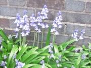 28th Apr 2021 - Bluebells. St. Charles Church garden.