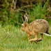 Hare today gone tomorrow!!!!