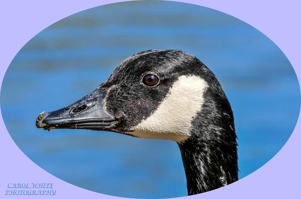 Canada Goose by carolmw