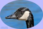 28th Apr 2021 - Canada Goose