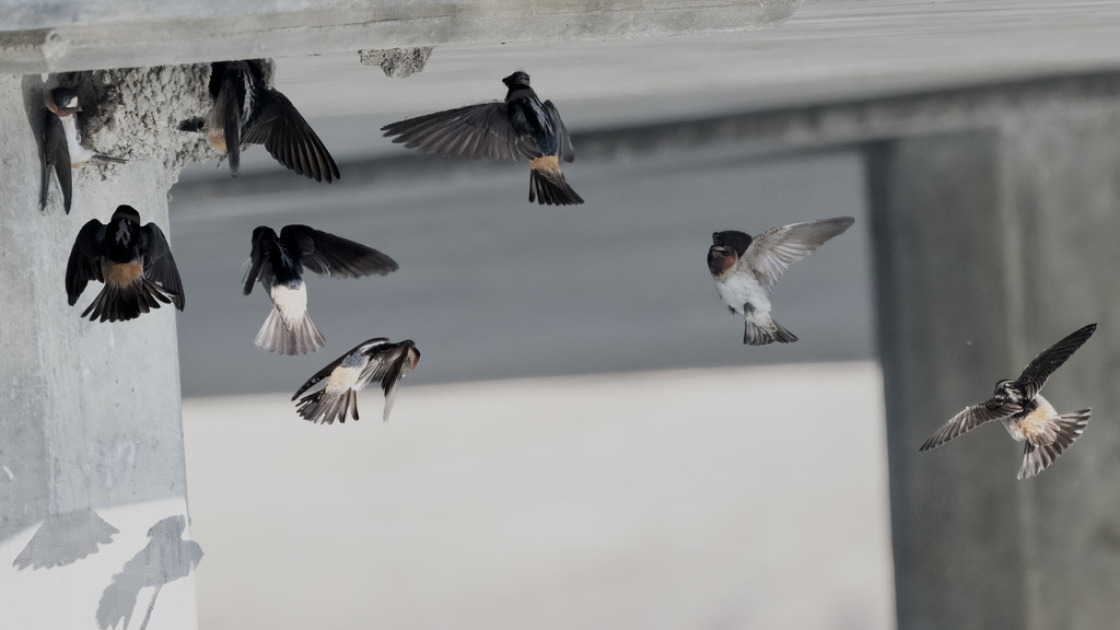 Cliff Swallows working on nests by mikegifford