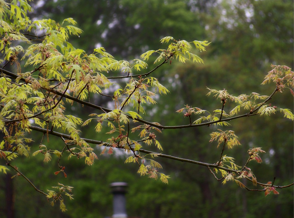 New leaves on the pin oak... by marlboromaam