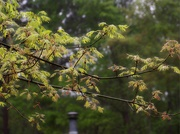 19th Apr 2021 - New leaves on the pin oak...