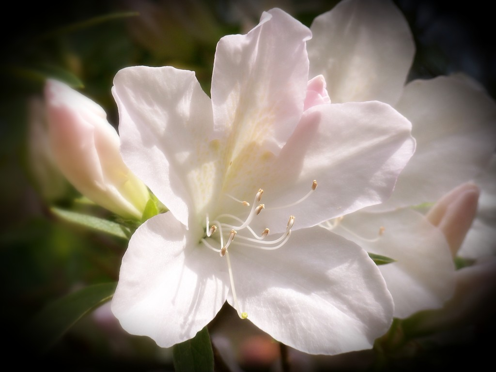 More white azaleas... by marlboromaam