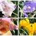 Iris season!