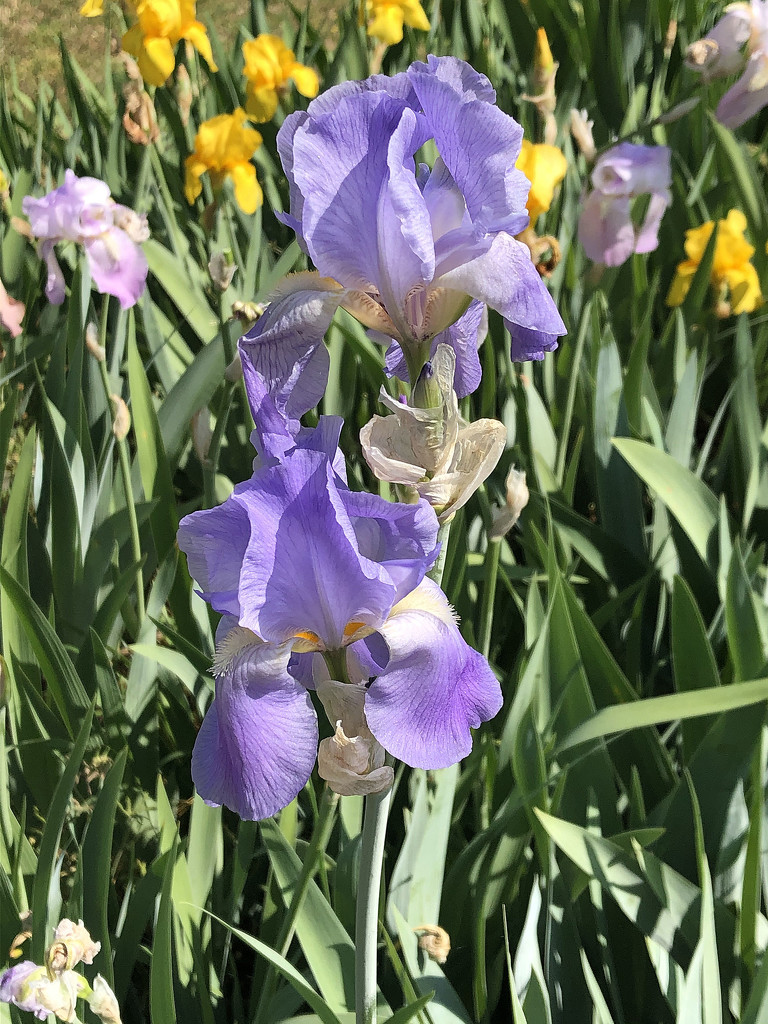Church irises by homeschoolmom