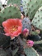 28th Apr 2021 - Cactus