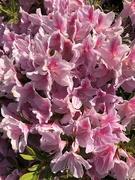 17th Apr 2021 - Pink tiny azaleas