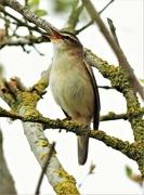 27th Apr 2021 - Sedge Warbler