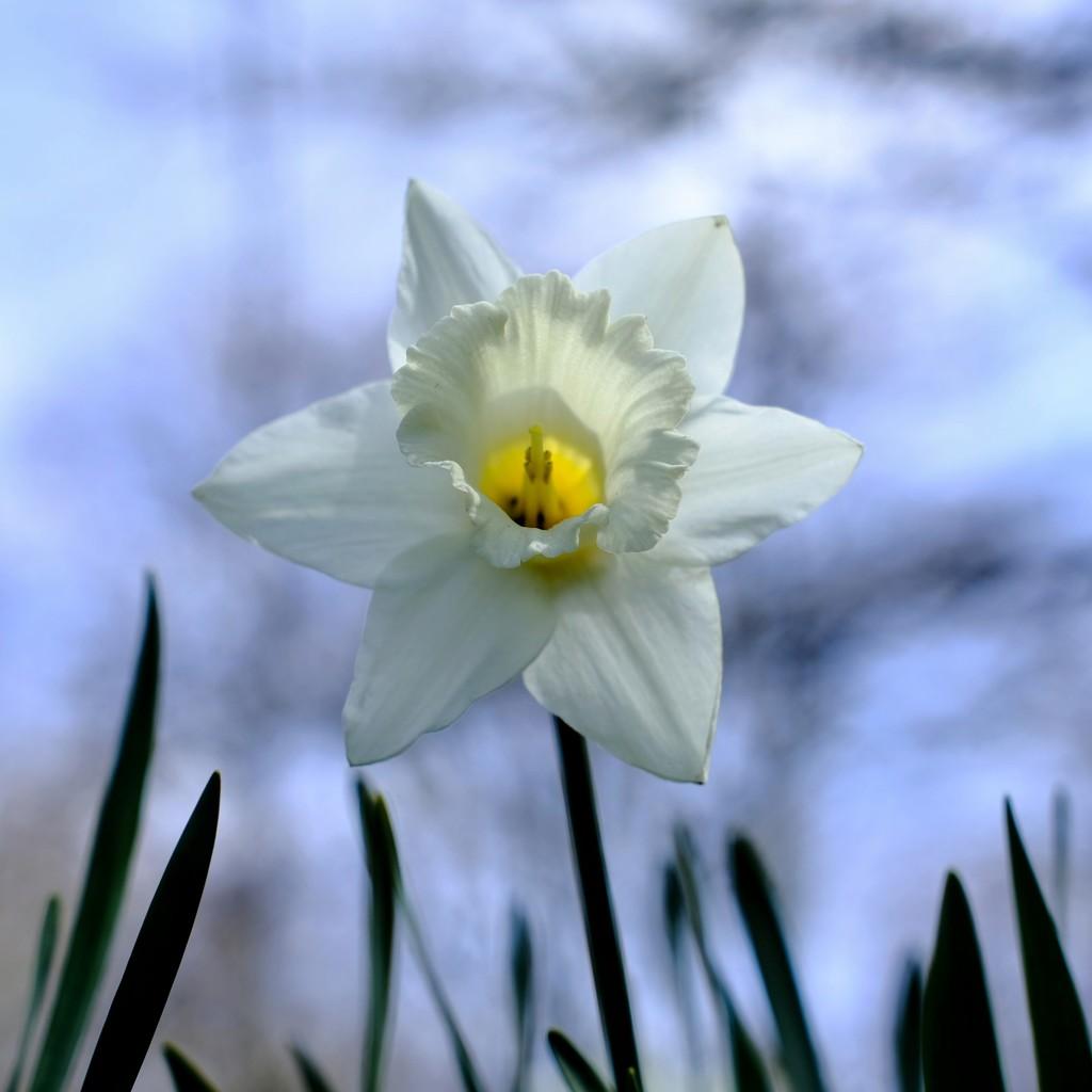 Daffodil 29 by 4rky