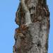 Mrs. red bellied woodpecker