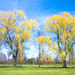 Willow Trees a la Van Gogh by sprphotos
