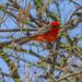 Vermilion Flycatcher by cwbill