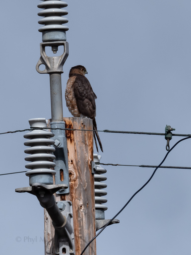 Hawk Watching Electricity by elatedpixie