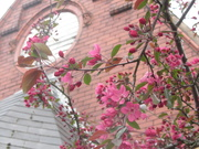 29th Apr 2021 - Pink blossoms.