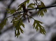 22nd Apr 2021 - New pin oak leaves in the rain...