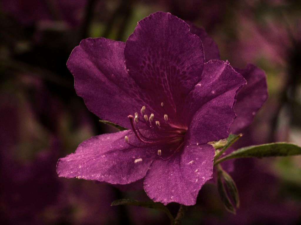 Odd color for an azalea... by marlboromaam