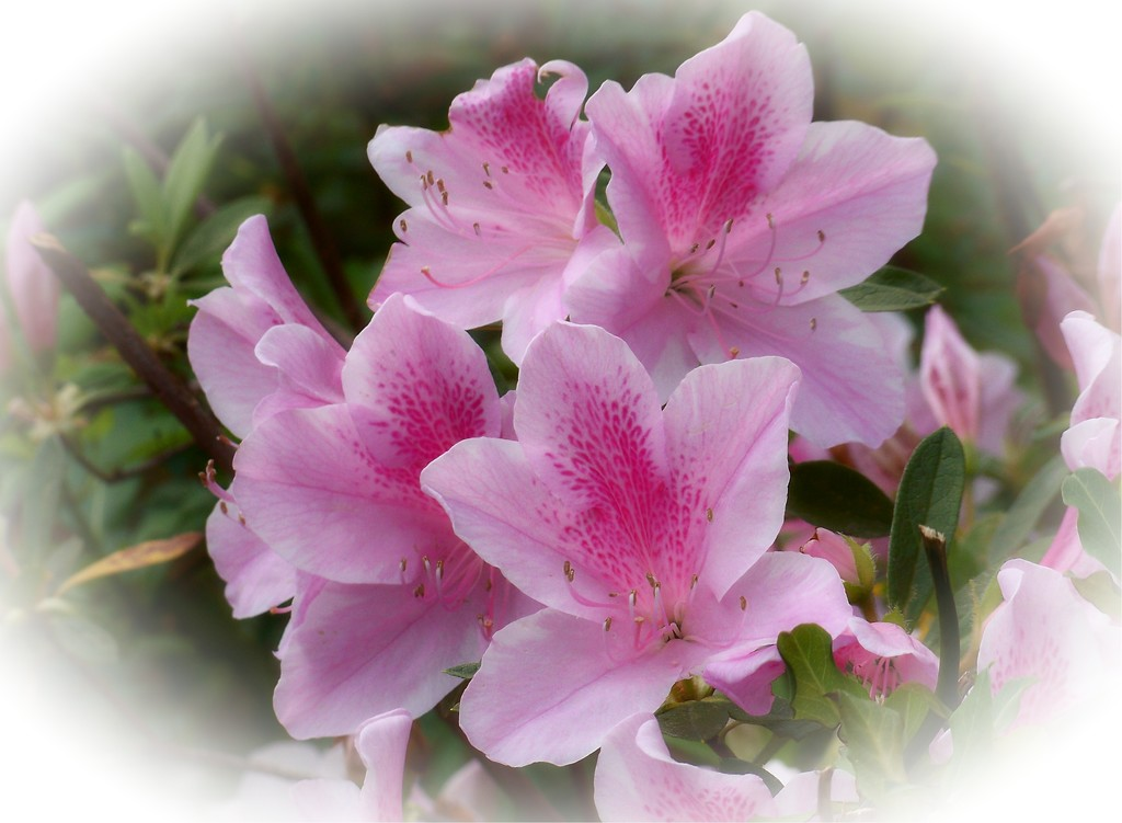 More pink azaleas... by marlboromaam