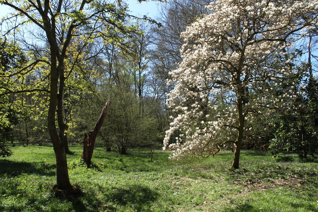 April 28th Magnolia at Winkworth Arboretum by valpetersen
