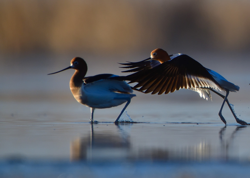 American avocets by mjalkotzy
