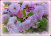30th Apr 2021 - pretty pink flowers