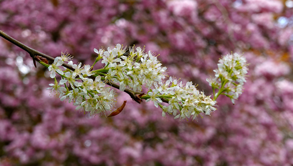 White on Pink by phil_howcroft