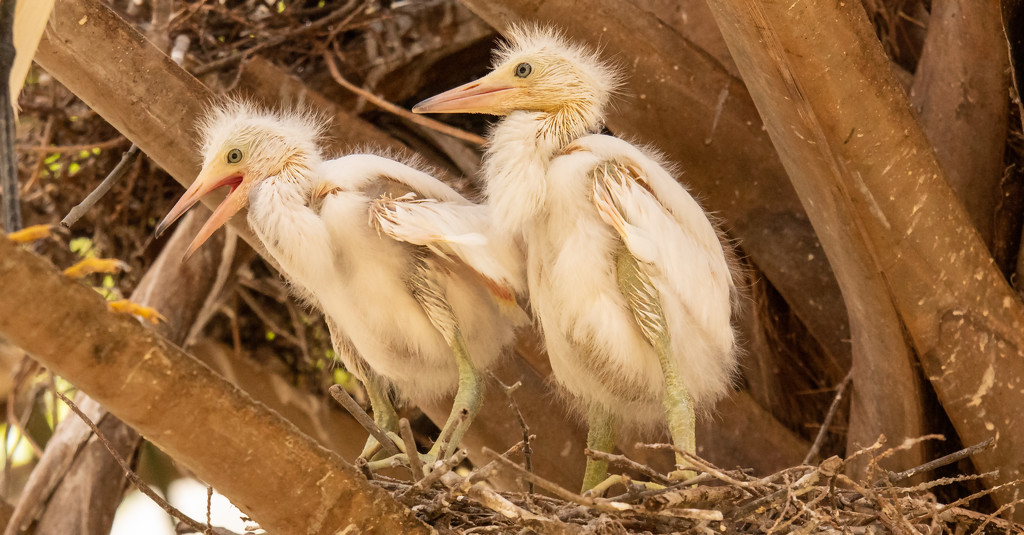 Snowy Egret Babes! by rickster549