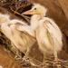 Snowy Egret Babes!